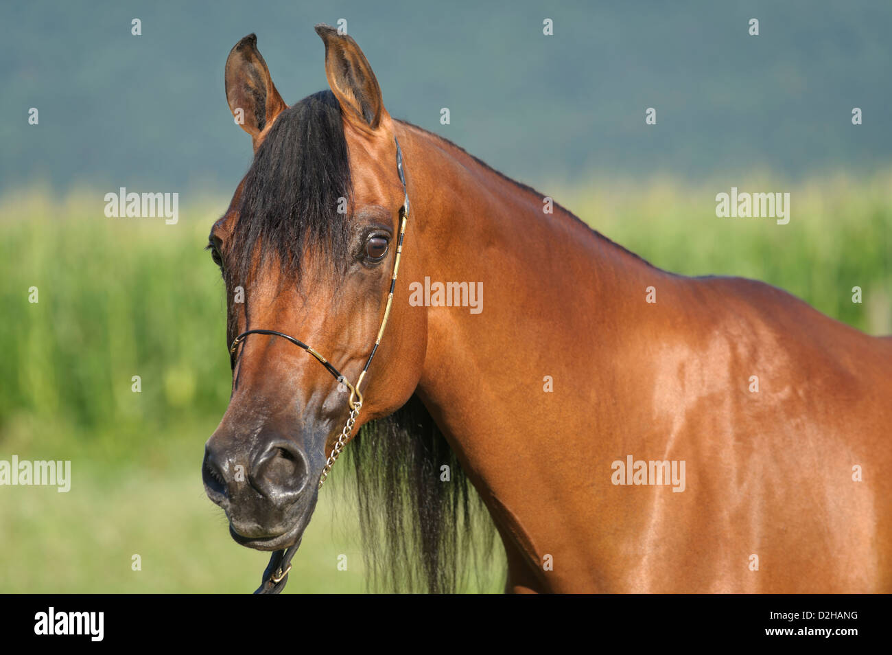 Horse in side view head shot, Arabian bay mare close up in open summer landscape outdoors. - Stock Image