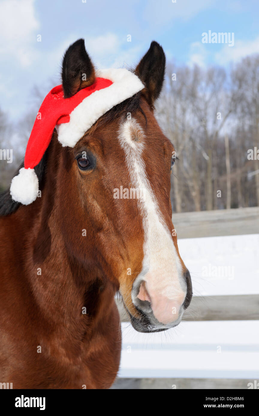 Horse wearing Santa hat for Christmas holiday, close up head shot outdoors in snow. - Stock Image