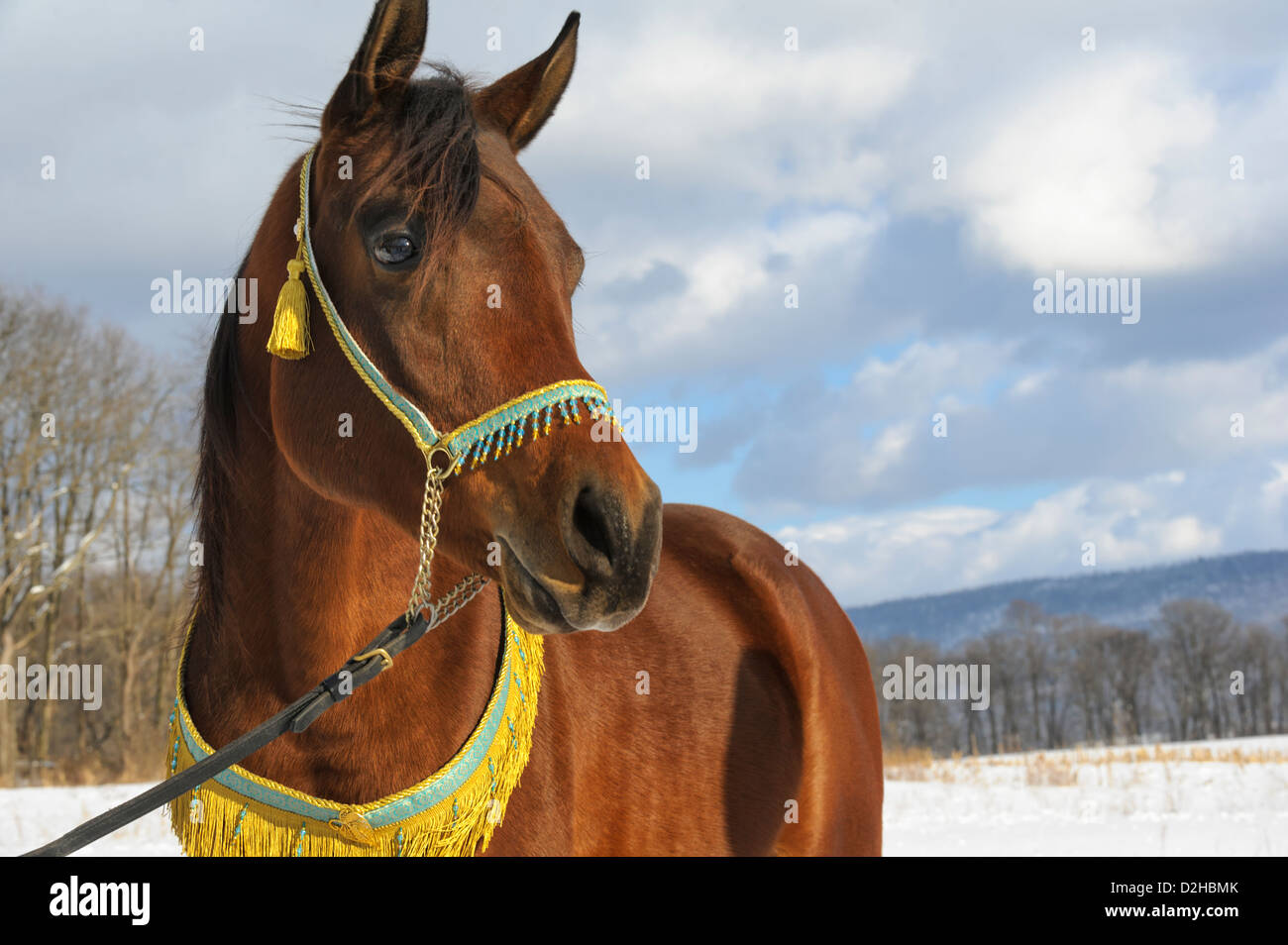 Horse looking into the distance in winter landscape, a brown Arabian stallion dressed in decorative halter and collar. - Stock Image