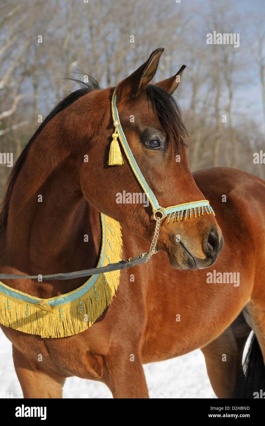 Horse in winter landscape, a brown Arabian stallion dressed in decorative halter and collar. - Stock Image