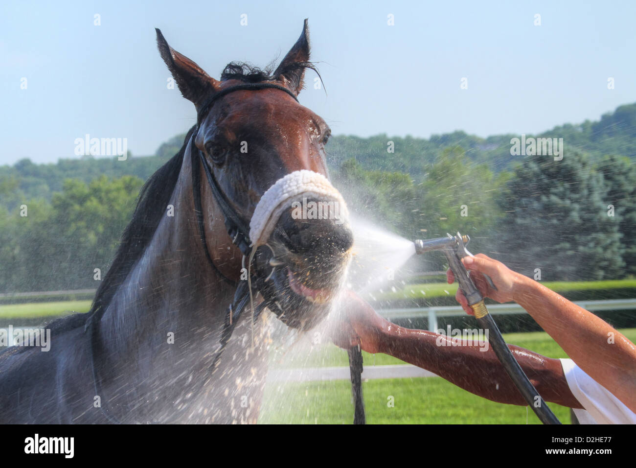 Water spray to cool down the racehorse after a race. Horse Racing at River Downs track, Cincinnati, Ohio, USA. - Stock Image