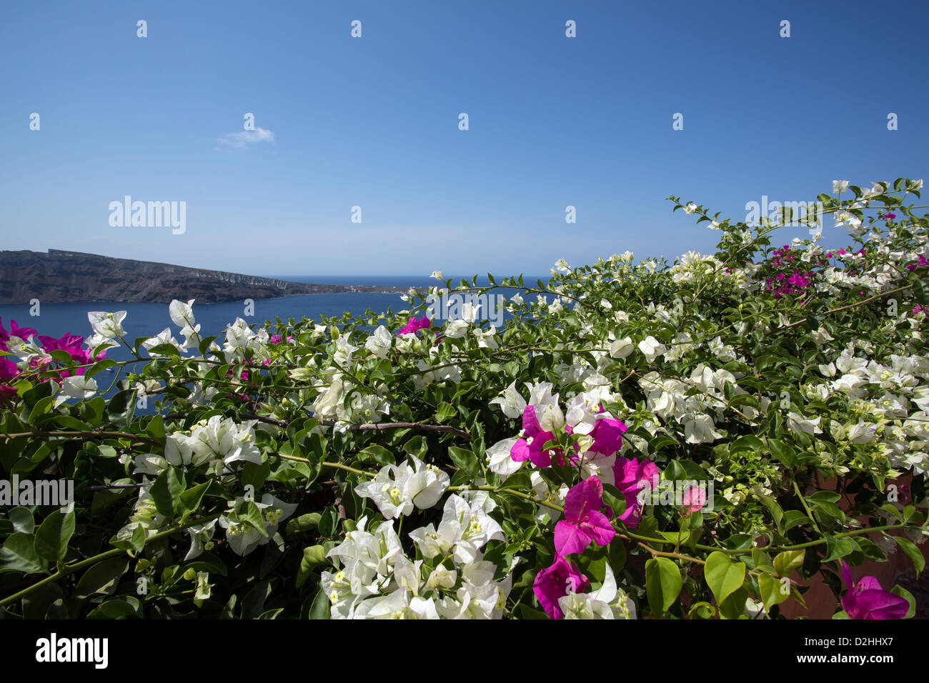A thick bush of bourgainvillea, at the edge of Oia in Santorini, Greece. - Stock Image