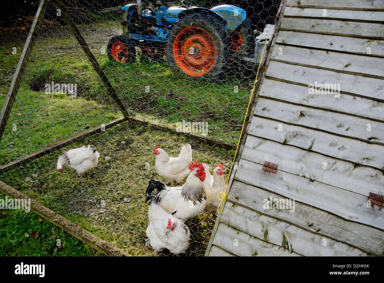 Light Sussex hens in a portable fold unit, Wales. - Stock Image