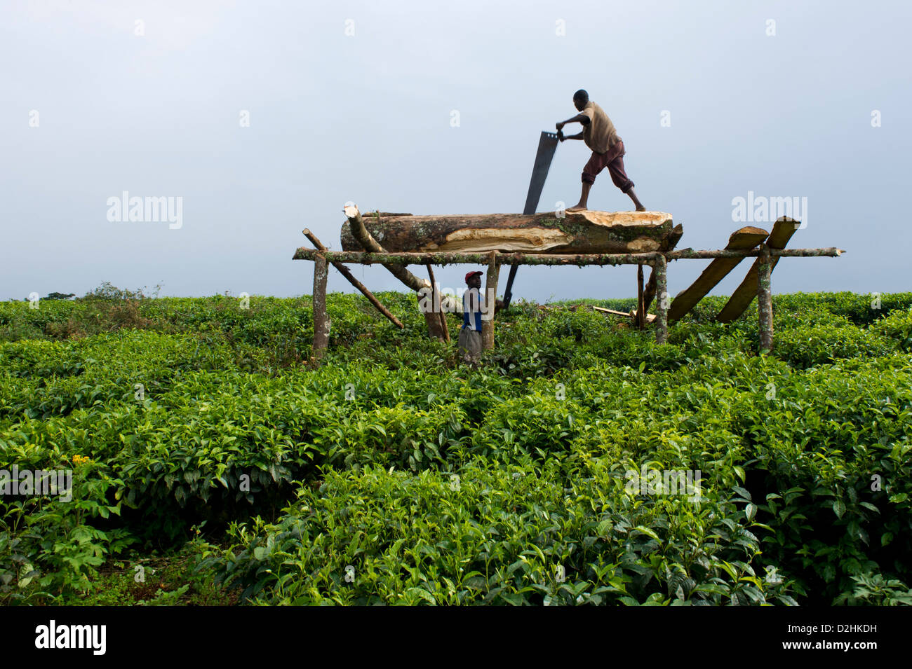 Sawing wood in the tea plantation on the edge of Nyungwe Forest National Park, Rwanda - Stock Image