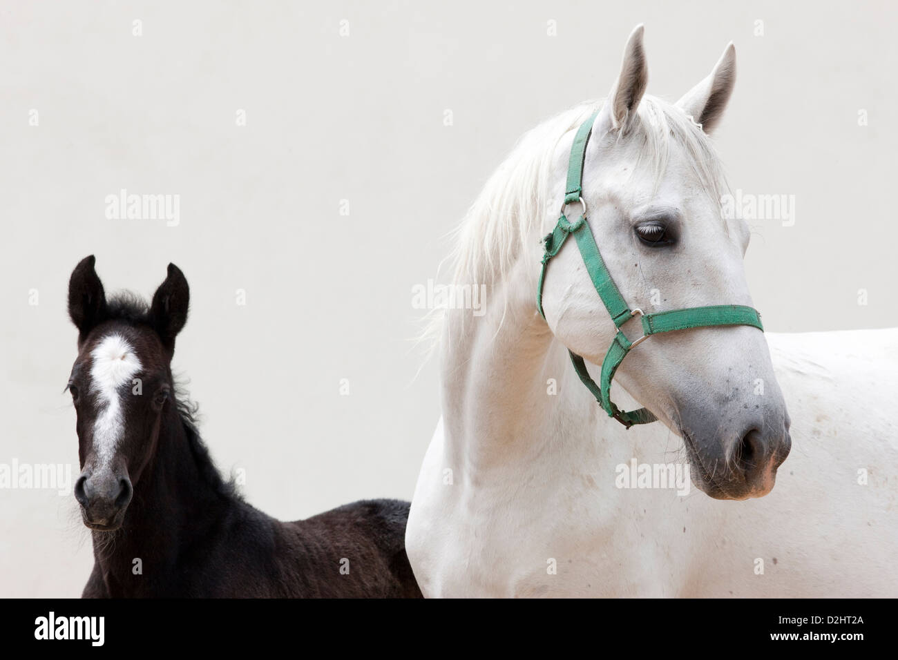 Lipizzan Horse. Portraet of mare and foal - Stock Image