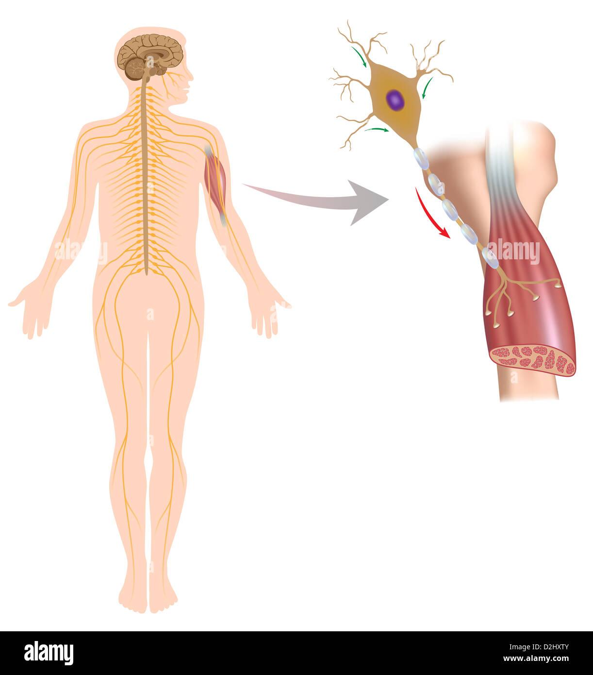 Motor neuron controls muscle movement Stock Photo