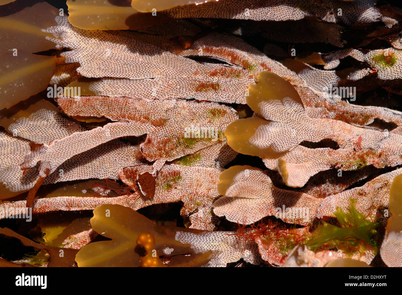 Sea mat bryozoan (Electra pilosa) on saw wrack in a rockpool, UK Stock Photo