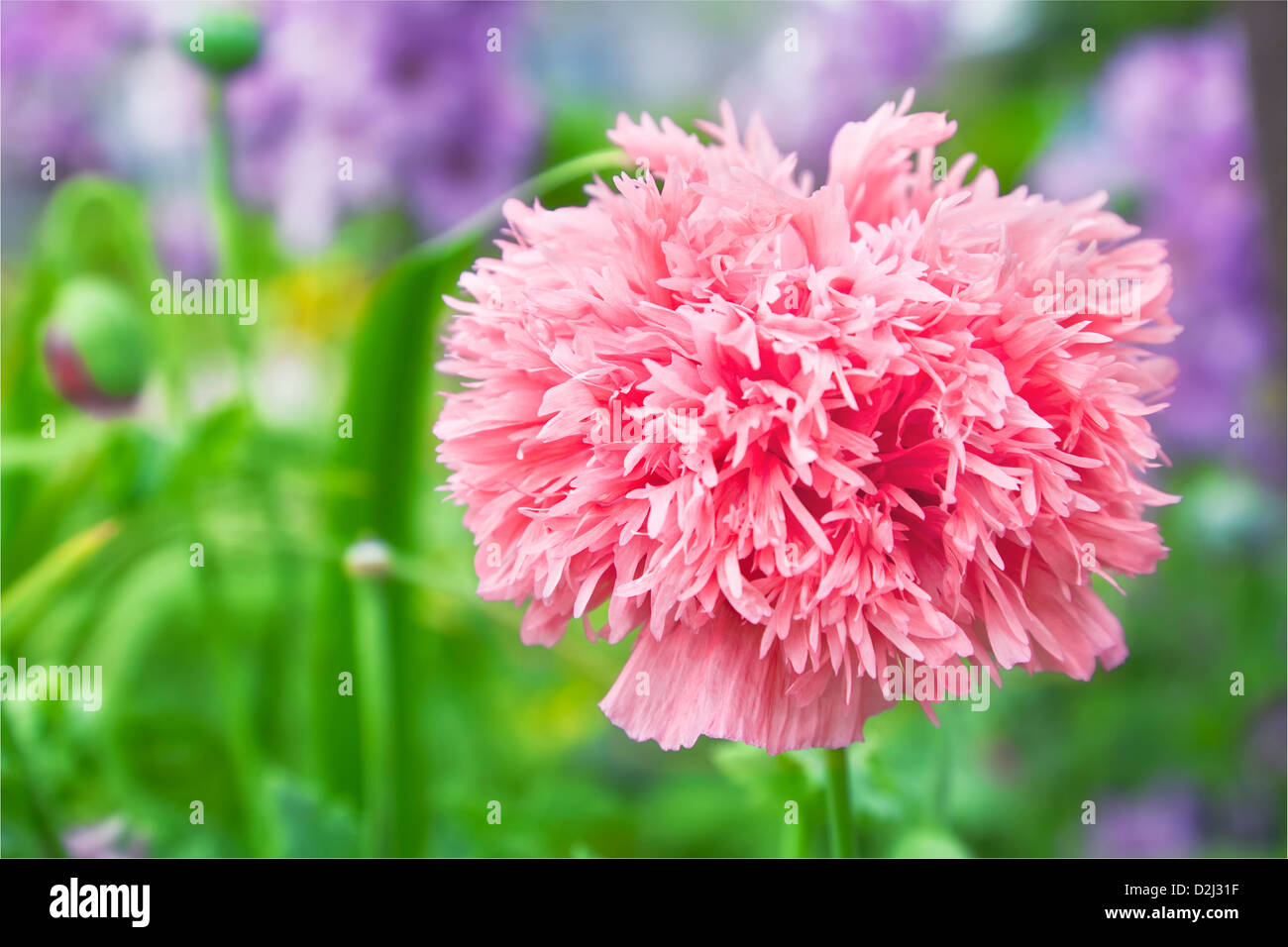 Double Poppy Flower Pink Stock Photos Double Poppy Flower Pink