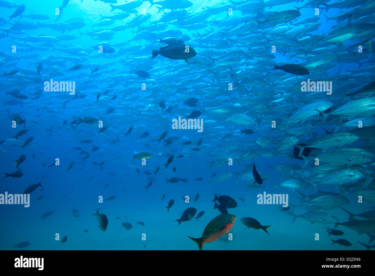 Large schools of tropical reef fish at Cabo Pulmo National Marine Park, Mexico. - Stock Image