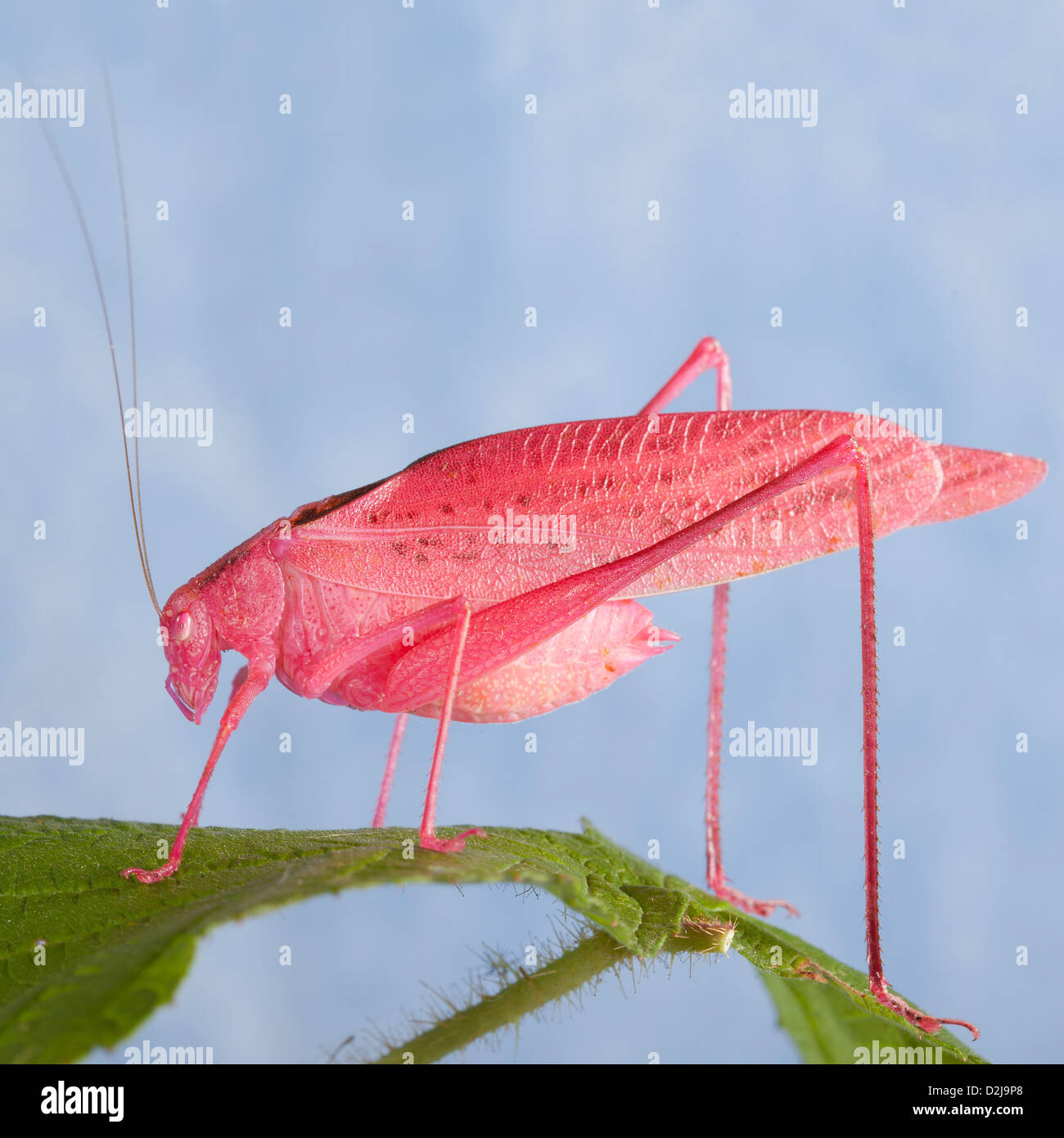 Adult male Oblong-Winged katydid (Amblycorypha oblongifolia), Pink Morph - Stock Image