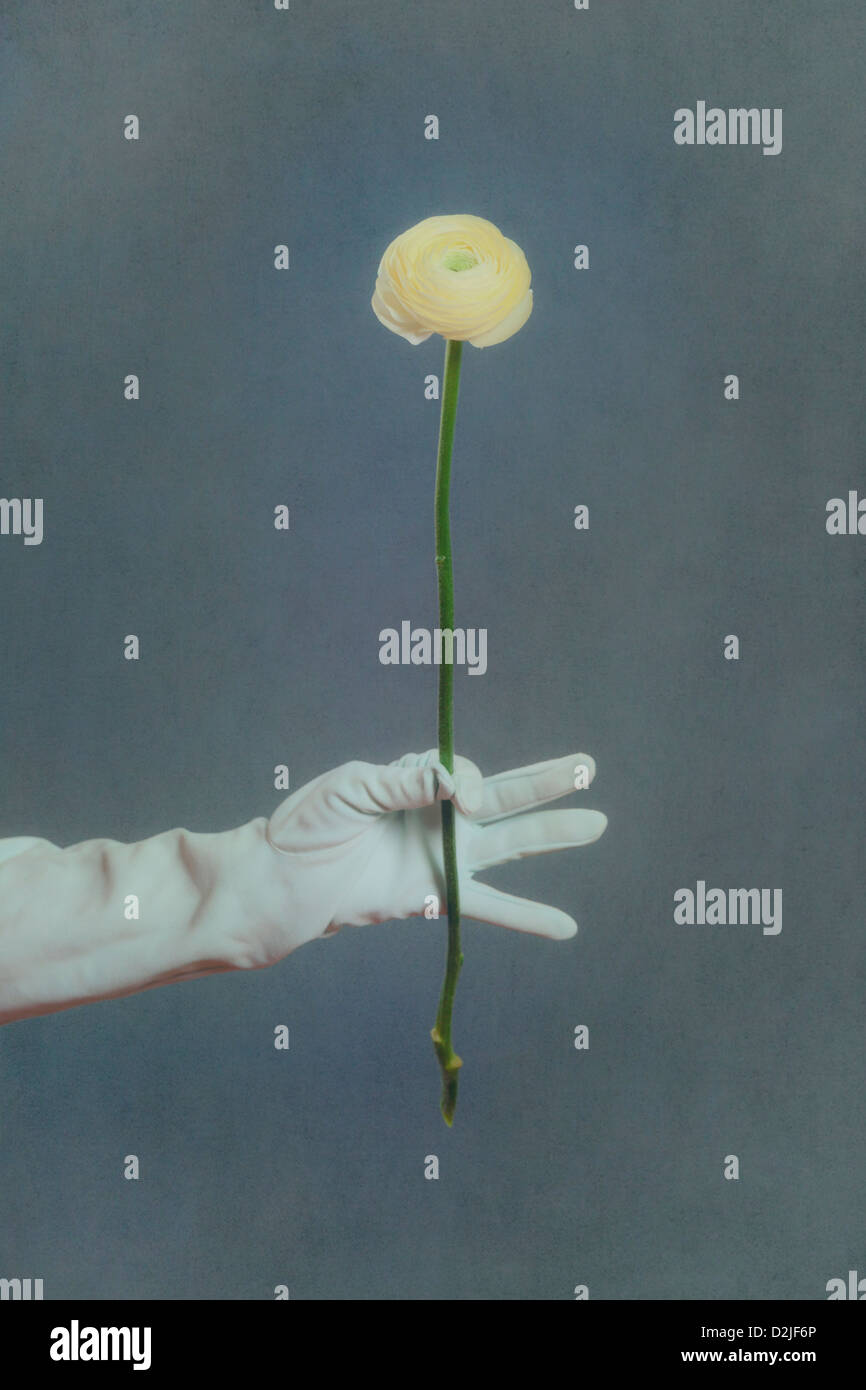 a hand in a white glove is holding a yellow buttercup flower - Stock Image