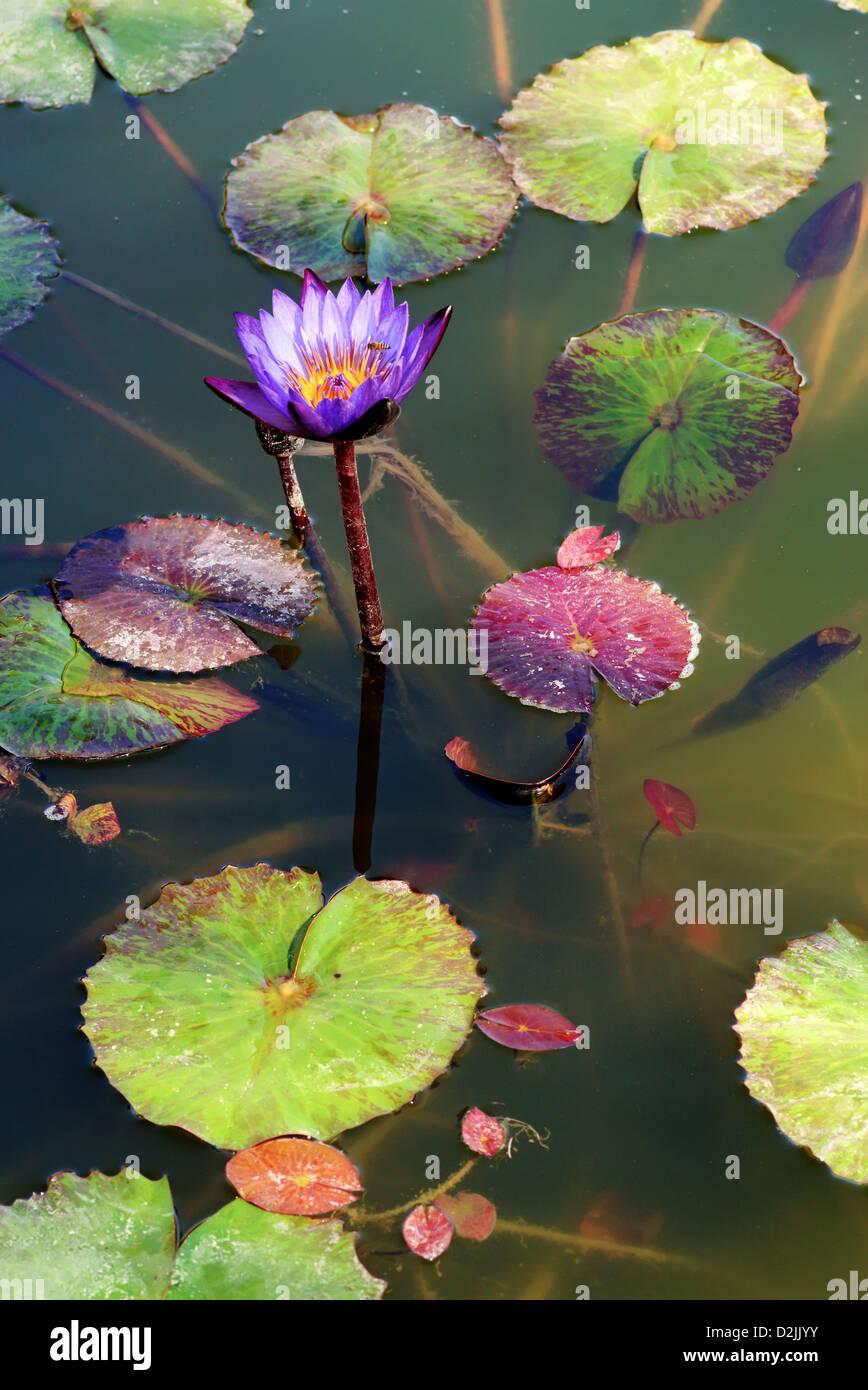 Flowers leaves habitat aquatic stock photos flowers leaves habitat lotus flowers and lily pads in a pond stock image mightylinksfo
