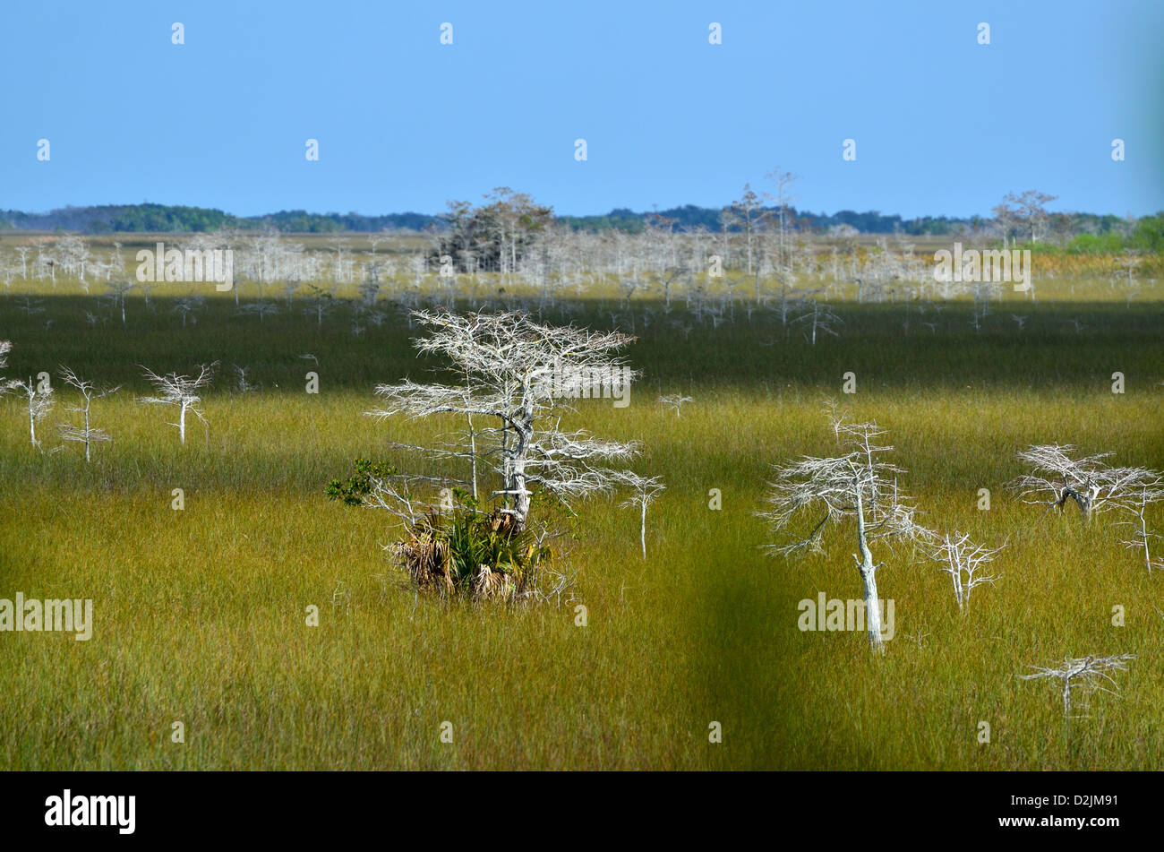 Bald cypress trees standing in wide span of sea grass. The Everglades National Park, Florida, USA. - Stock Image