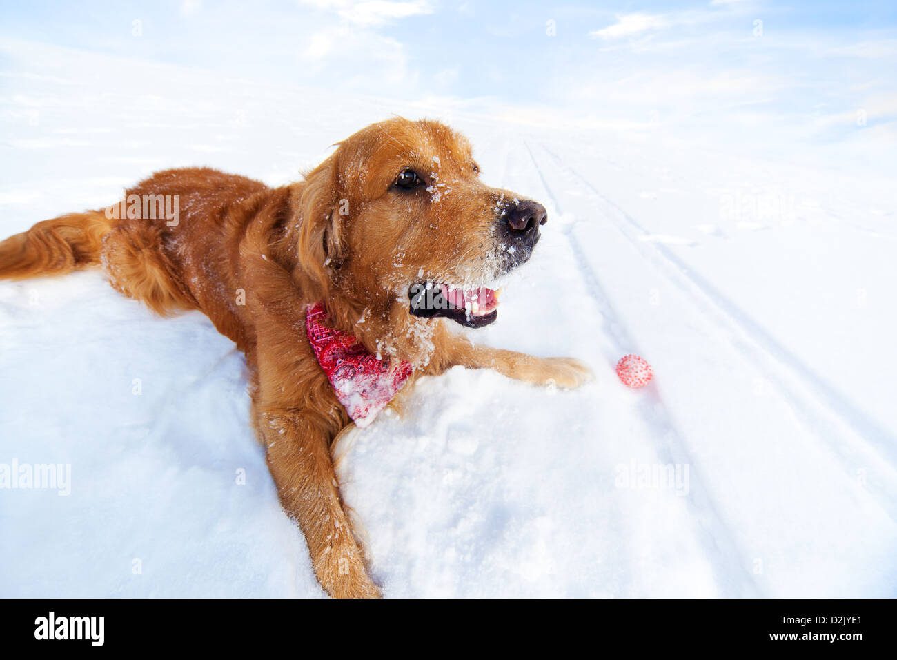 Labrador with toy lying on snow. - Stock Image