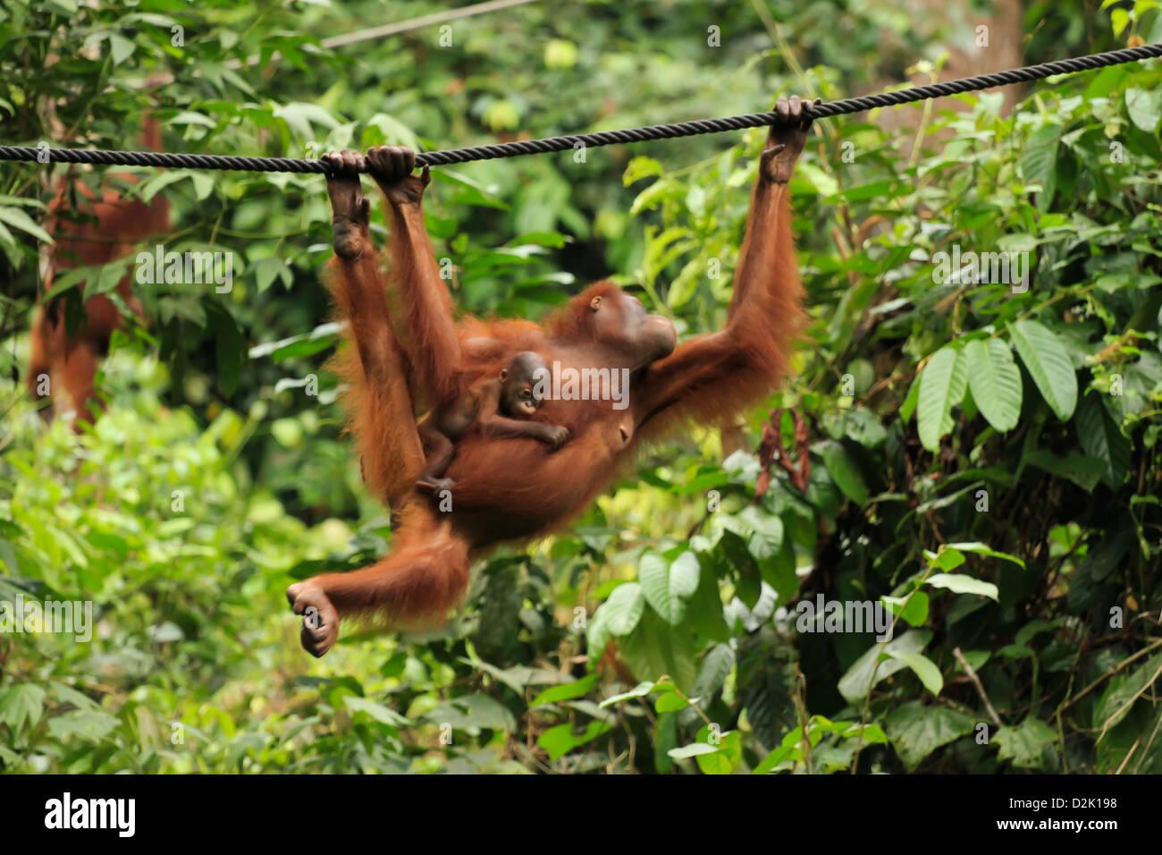 Orangutan female with kid - Stock Image