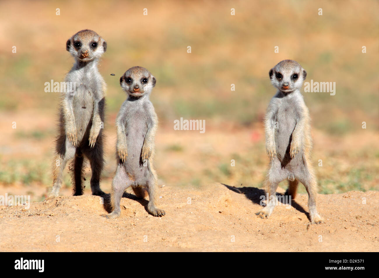 Cute meerkat babies (Suricata suricatta), Kalahari desert, South Africa Stock Photo