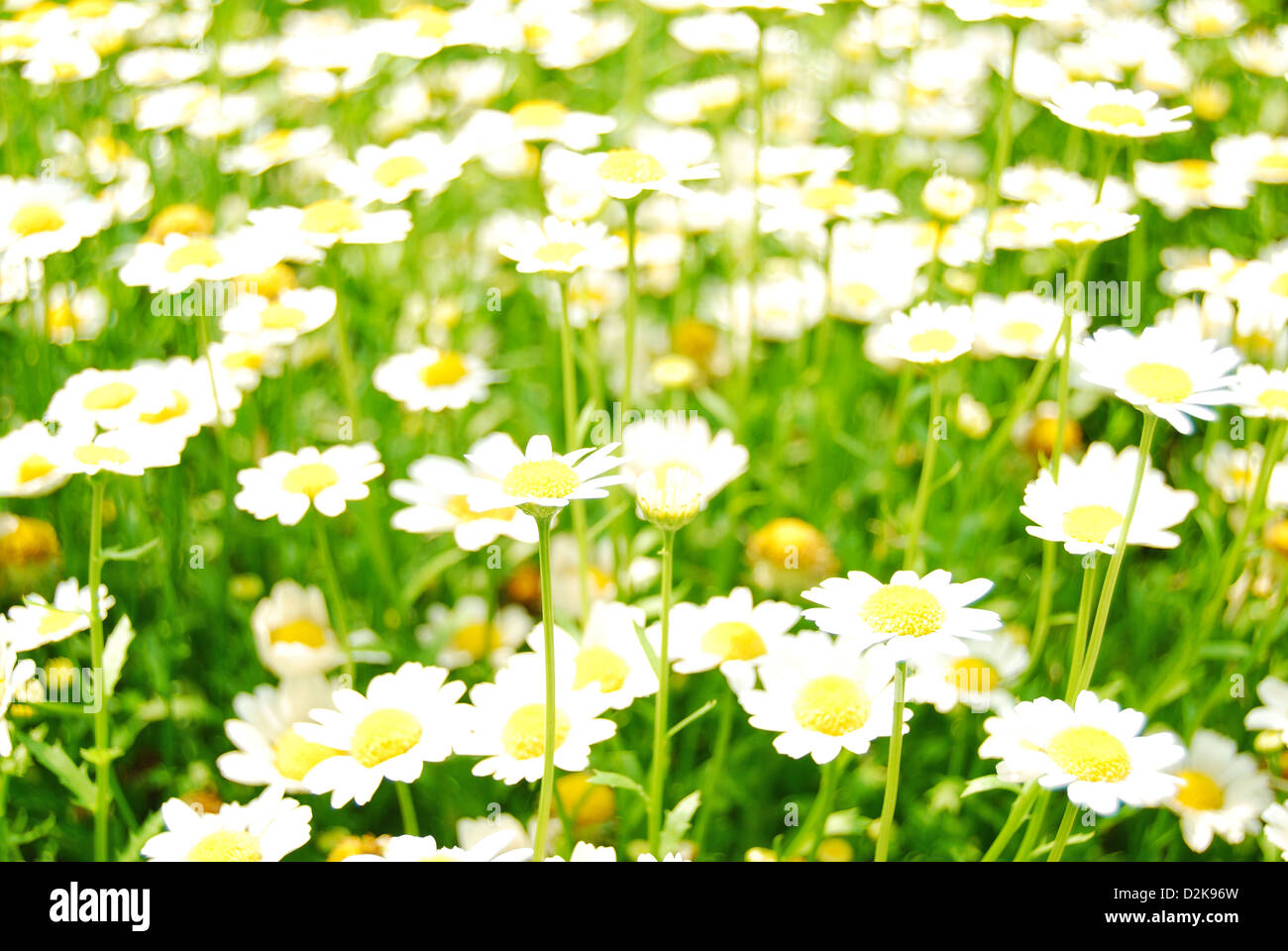 Lovely white daisy of the open pastureland with wonderful morning sunlight. Pudong Bingjiang Forest Park, Shanghai - Stock Image