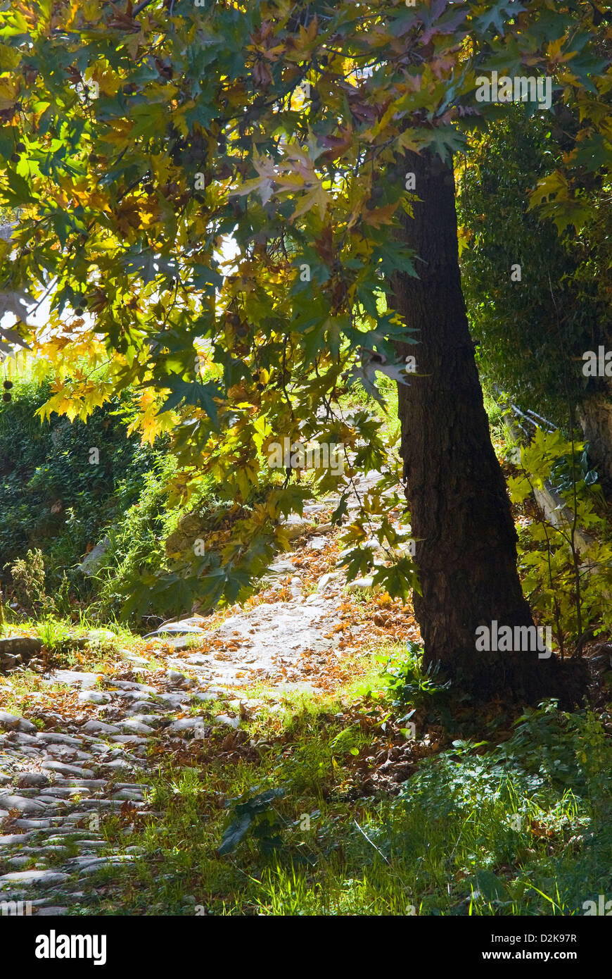 Plane tree with autumn leaves Stock Photo