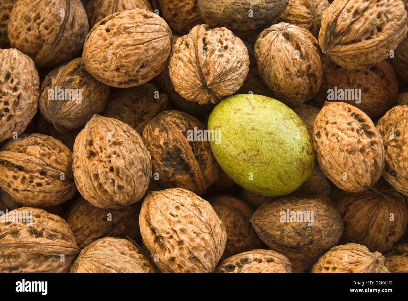 Harvested walnuts - Stock Image