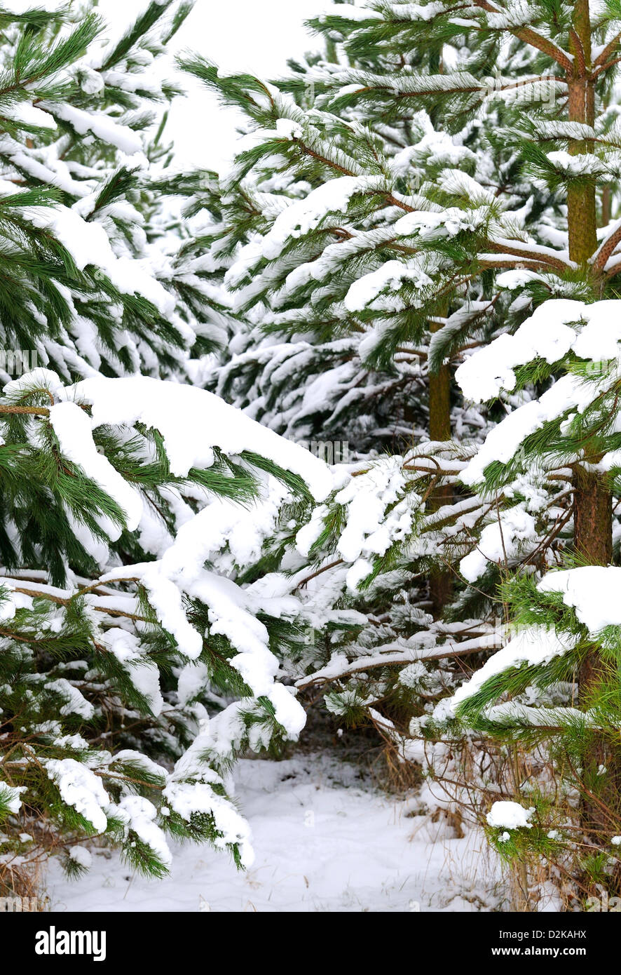 Conifers or pine trees with their leaves or needles covered with a layer of snow. - Stock Image