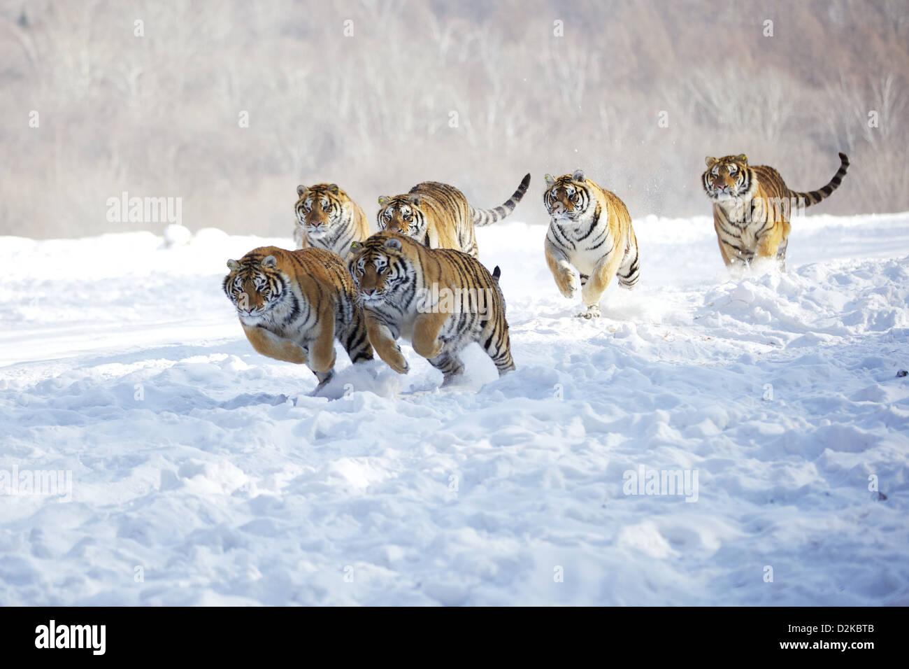 Siberian tigers Crouching Tiger - Stock Image