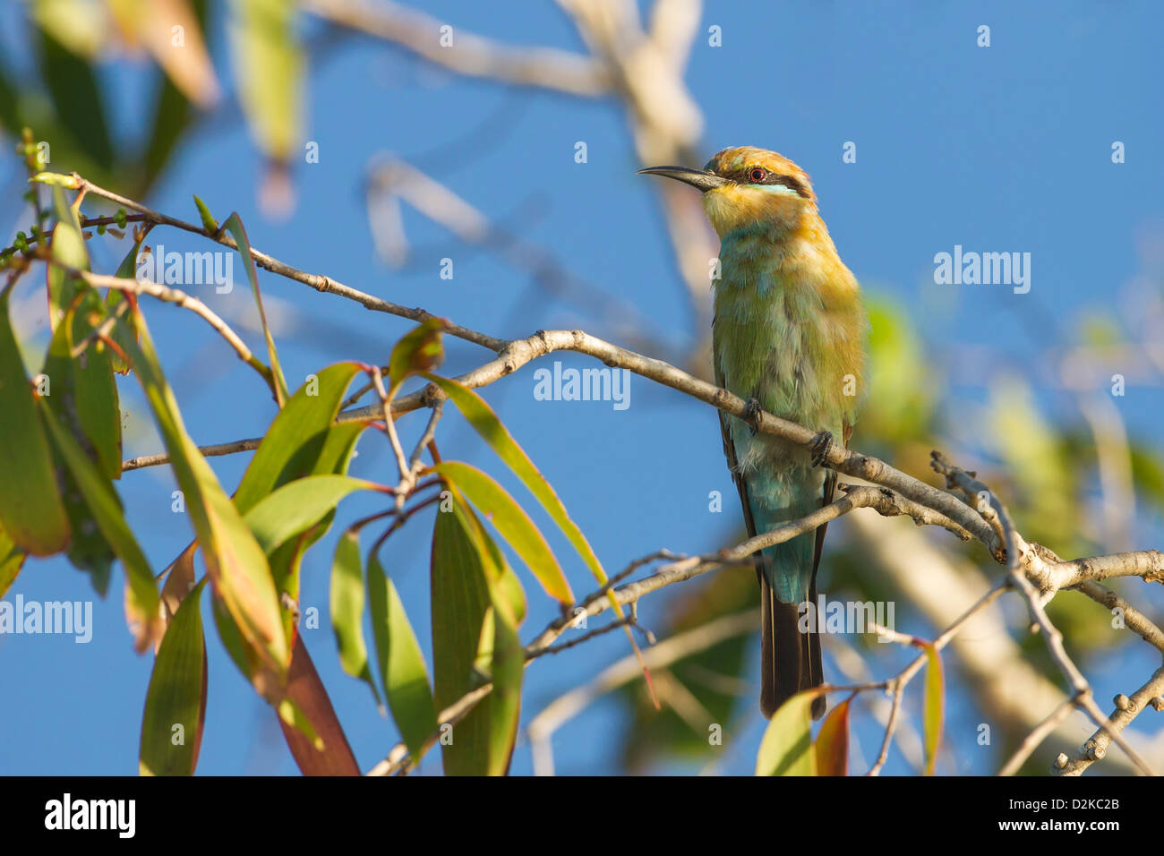 Rainbow Bee Eater (Merops ornatus) perched - Stock Image