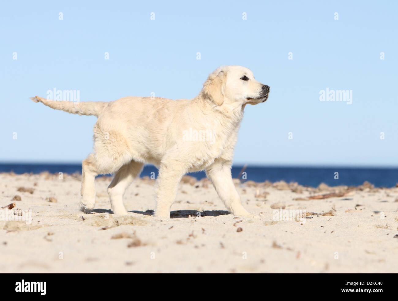 Dog Golden Retriever Puppy Walking On The Beach Stock Photo Alamy