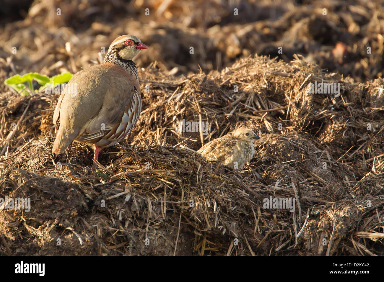 Female red legged Partridge with its chick on a dung heap - Stock Image