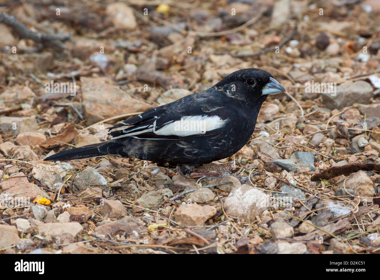 Lark Bunting Calamospiza melanocorys Arizona-Sonora Desert Museum, Tucson, Arizona, United States 23 January Adult - Stock Image