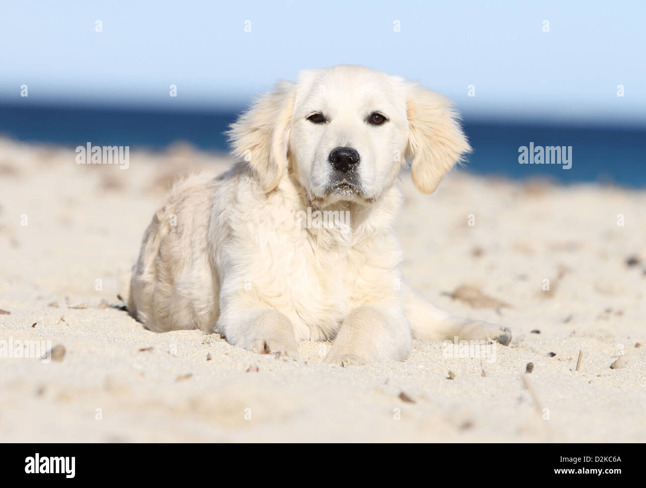 Dog Golden Retriever Puppy Lying On The Beach Stock Photo Alamy