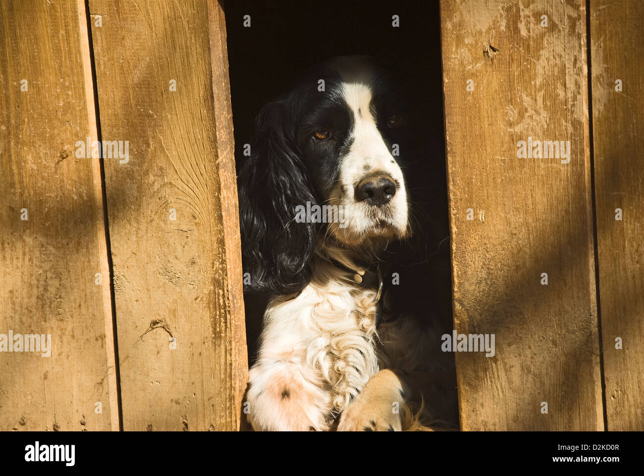 Black and white hunting dog chained up in dog kennel - Stock Image