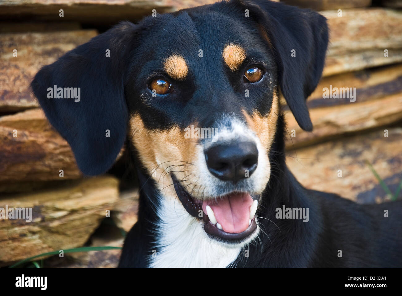 Portrait of a mongrel dog in front of brown stone wall - Stock Image