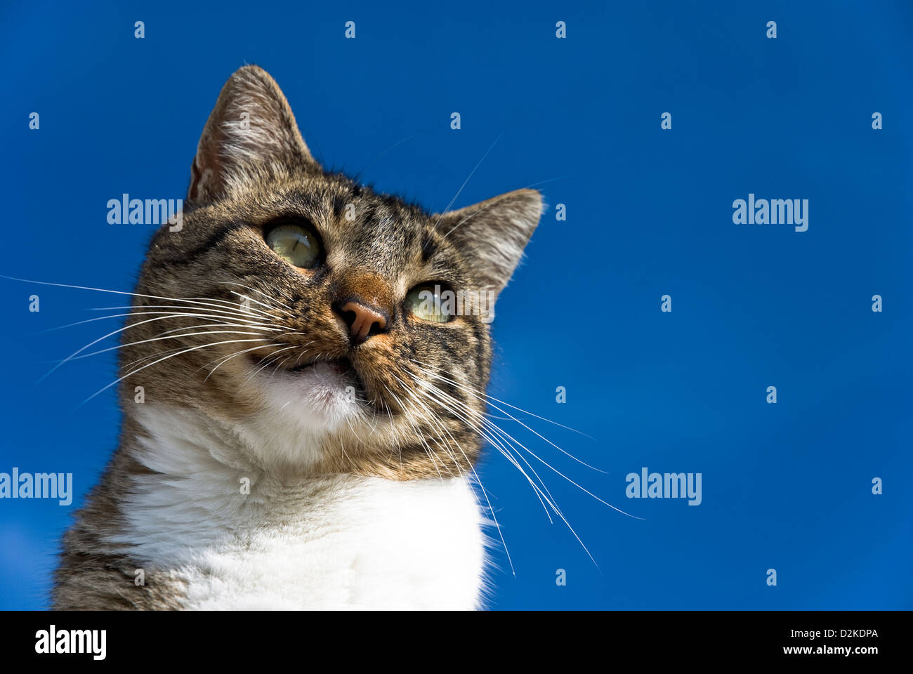 Portrait of a tabby tomcat against blue sky - Stock Image