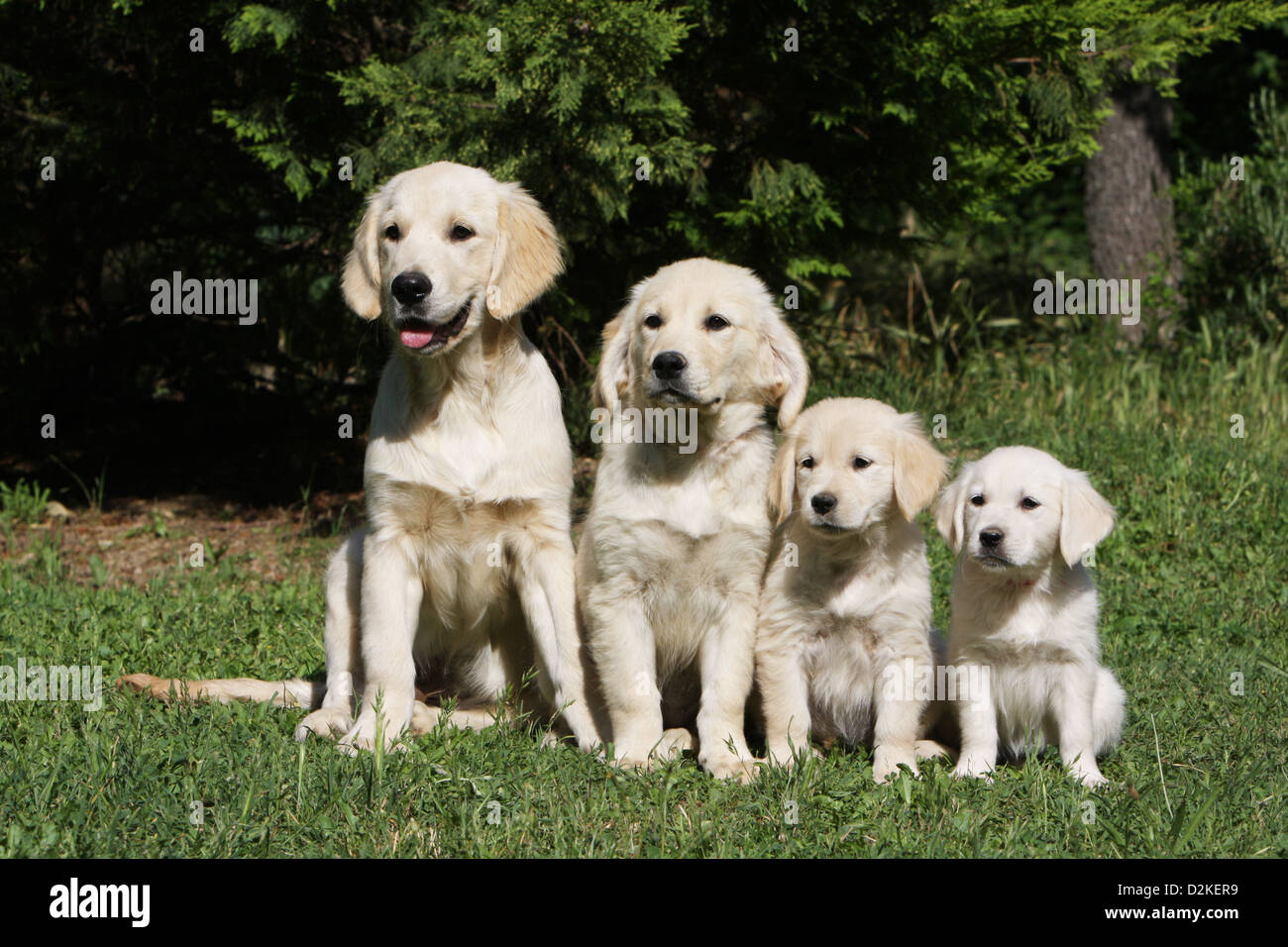 Dog Golden Retriever   Family of different generations (Young's and puppies) by size - Stock Image