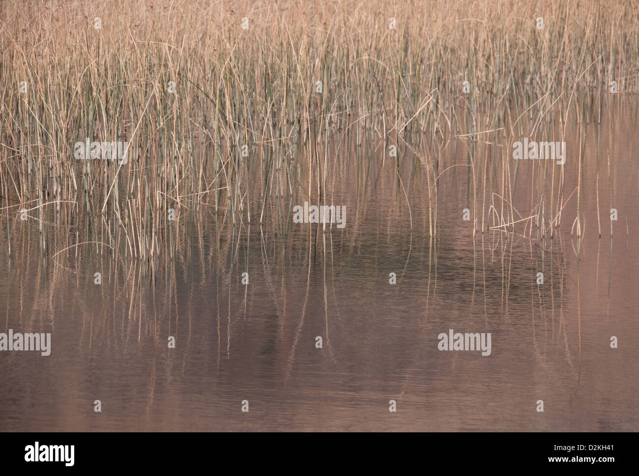 Reeds in Water - Stock Image