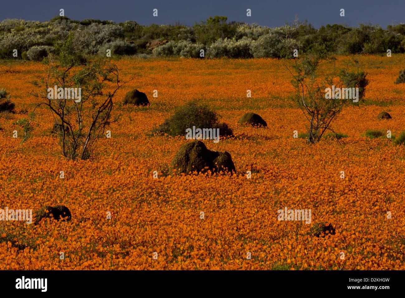 Termite mounds among Orange Daisies (Ursinia cakilefolia) Skilpad Reserve, Namaqua National Park, Namaqua Desert, - Stock Image