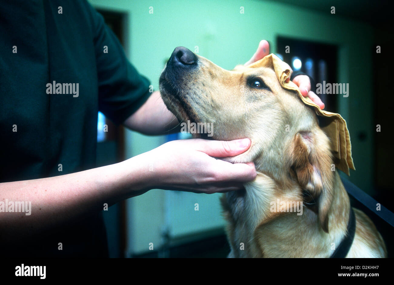 Guide Dog being groomed by veterinary nurse, Wokingham Training Centre, Guide Dogs for the Blind Association, UK. - Stock Image