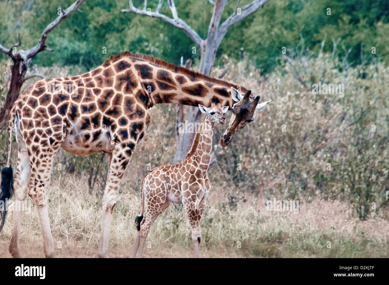 Rothschild Giraffe Mother Kissing Her Baby Giraffe Manor Nairobi