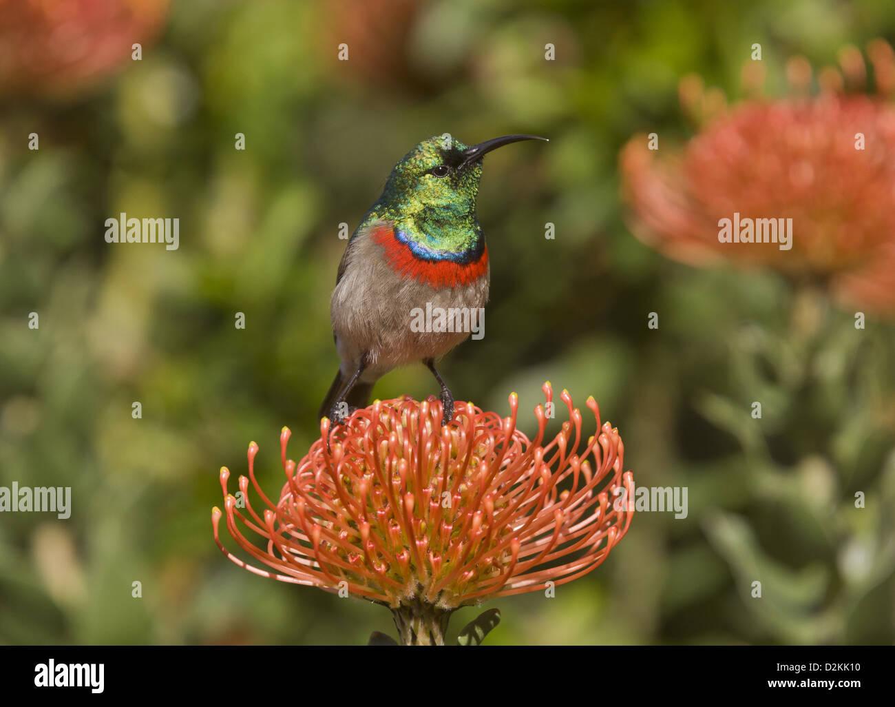 Lesser Double-collared Sunbird (Cinnyris chalybeus) feeding on Proteas (Leucospermum cordifolium) Cape, South Africa - Stock Image