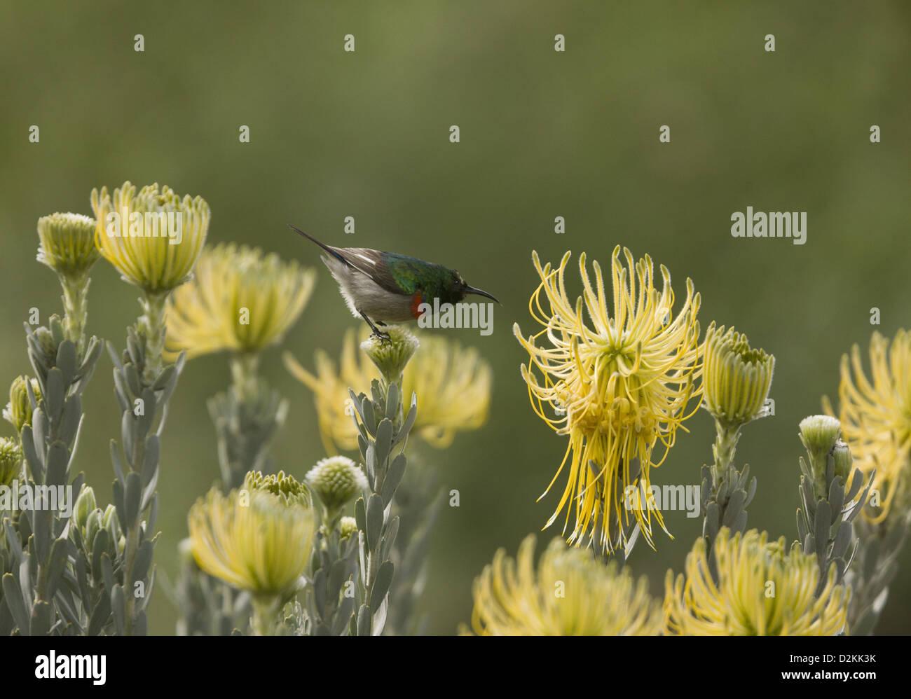 Lesser Double-collared Sunbird (Cinnyris chalybeus) on Yellow rocket pincushion (Leucospermum reflexum var. luteum) - Stock Image