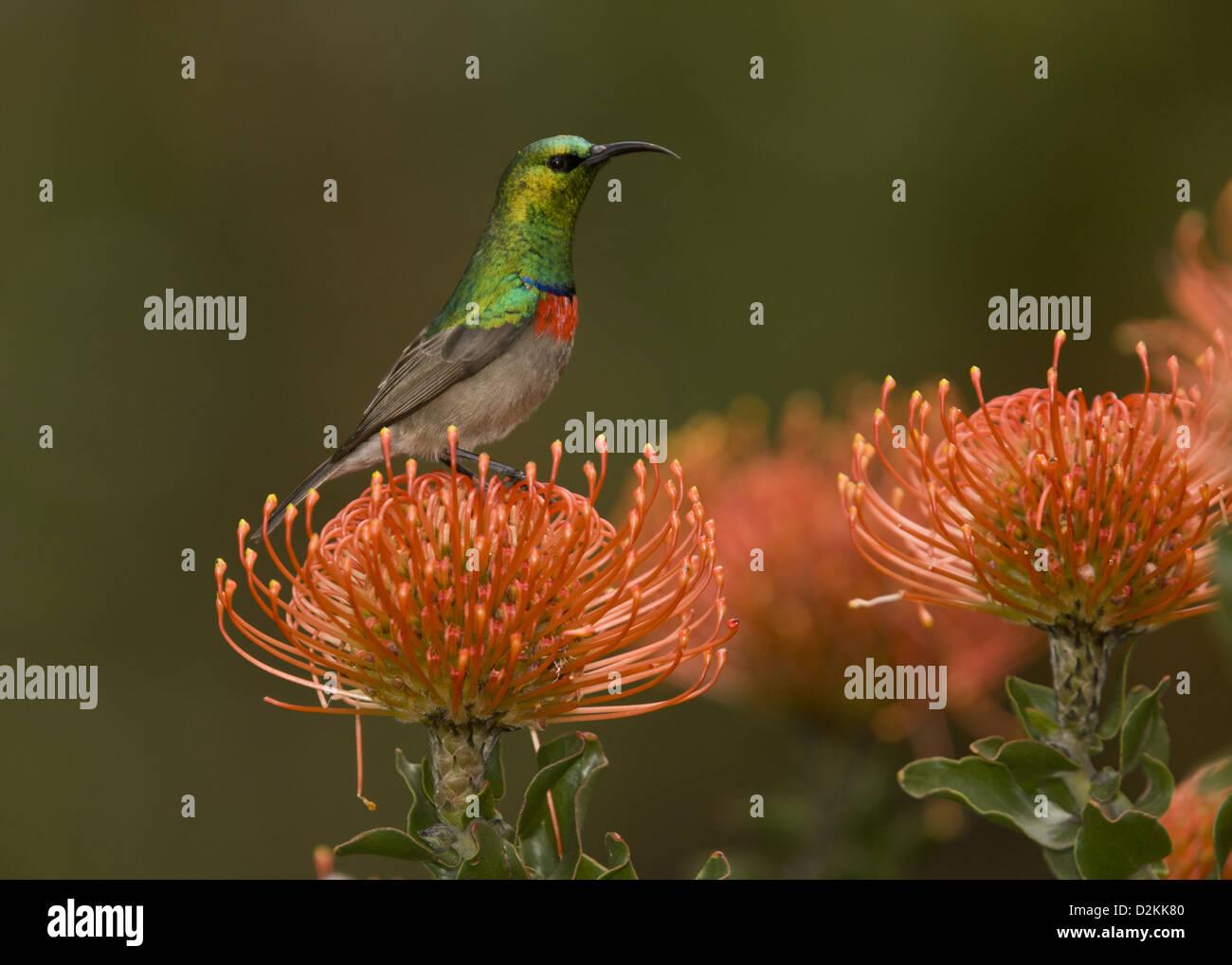 Male Southern Double-collared Sunbird (Cinnyris chalybeus) on Protea pincushion (Leucospermum cordifolium) Cape, - Stock Image