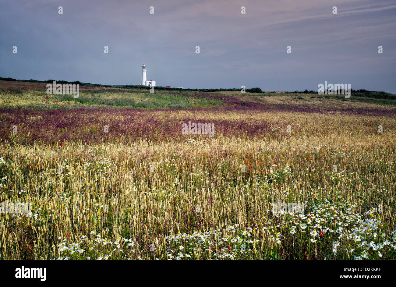 Flamborough Head lighthouse, a wheat field, and wild flowers on a bright day in summer, Yorkshire, UK. - Stock Image