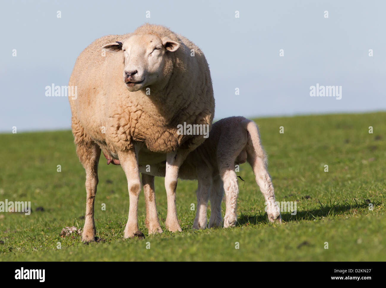 Mother sheep and her baby lamb - Stock Image