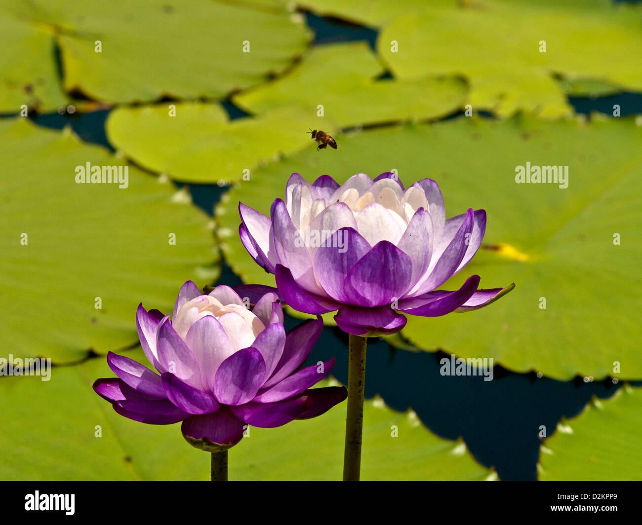 Lotus Flowers Stock Photos Lotus Flowers Stock Images Alamy