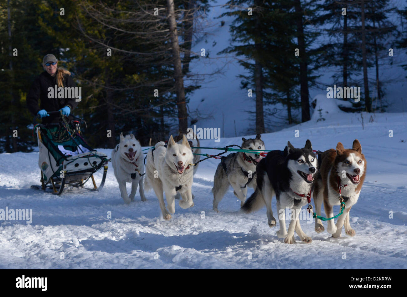 Musher and dogs taking part in the Eagle Cap Extreme dog sled race in Oregon's Wallowa Mountains. - Stock Image