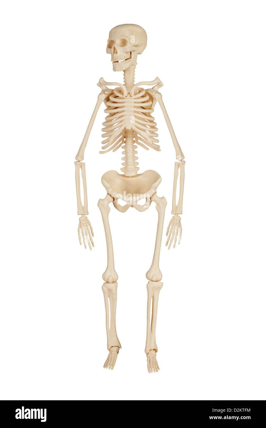 diagram of male skeleton male human skeleton stock photos   male human skeleton stock  male human skeleton stock photos   male
