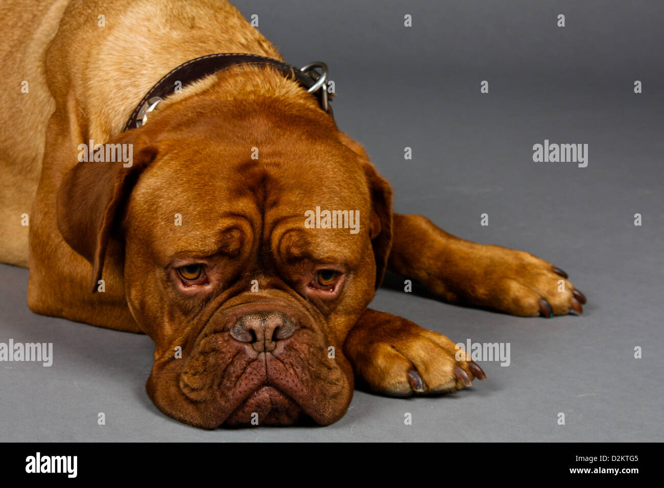 Sad Looking Brown Dog lays his head down on the floor to wait.  Dogue de Bordeaux - Stock Image