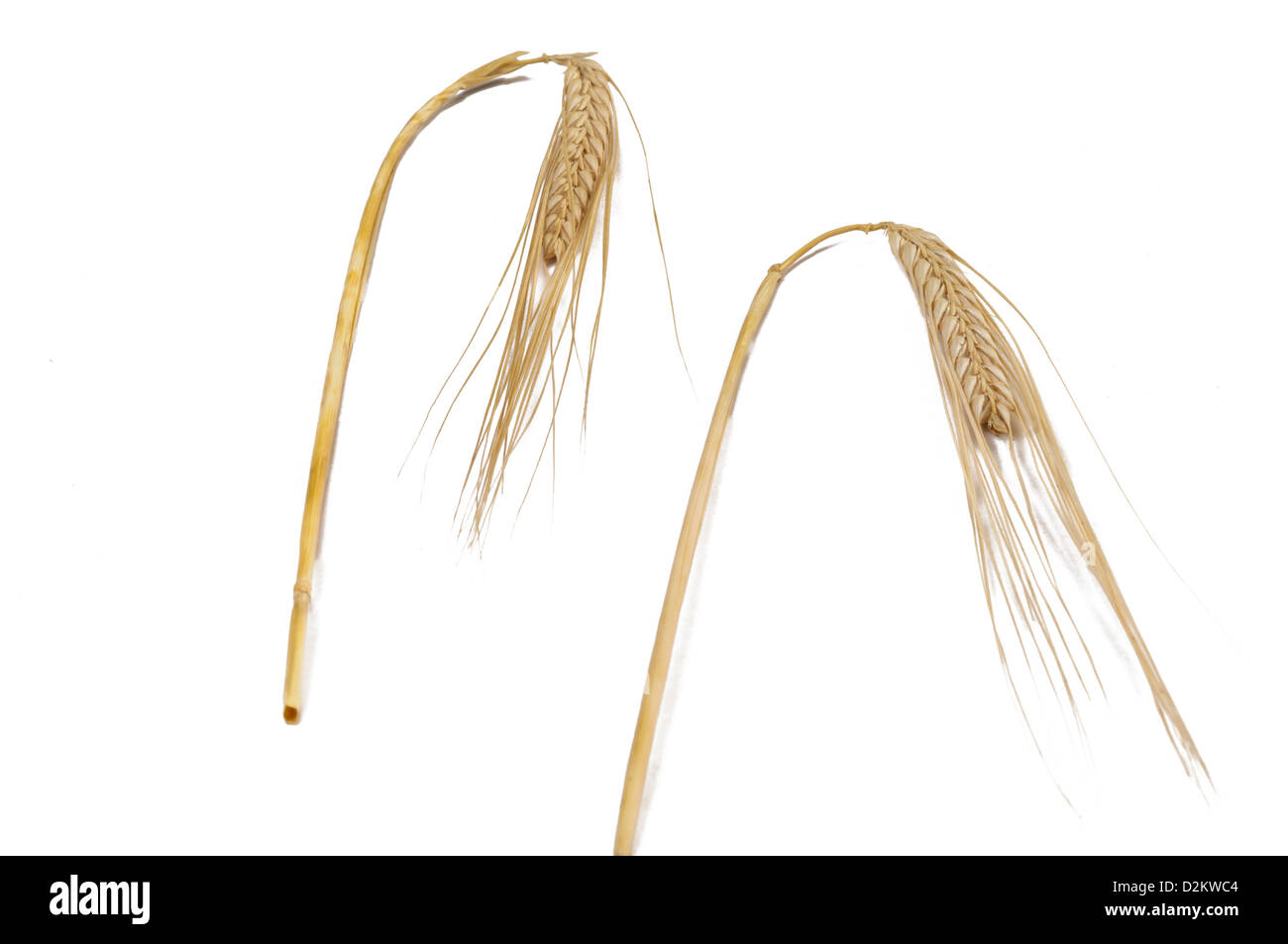 Ears of wheat (Triticum spp.) - Stock Image