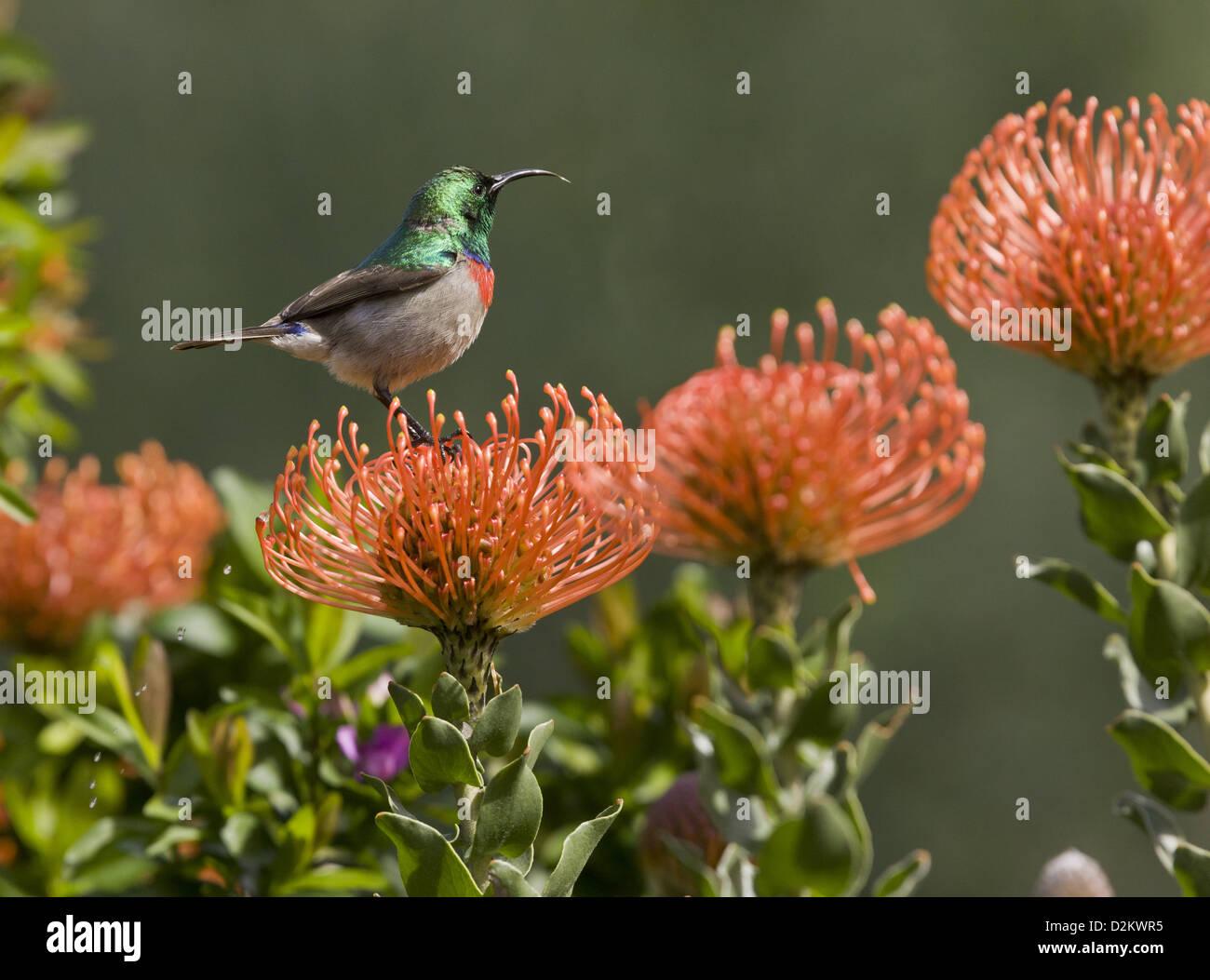 Male Southern Double-collared Sunbird (Cinnyris chalybeus) on Proteas (Leucospermum cordifolium), South Africa - Stock Image