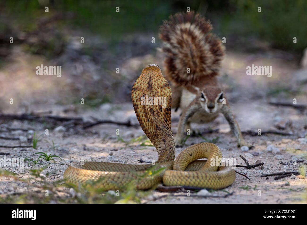 Cape cobra, yellow cobra threatening gesture, South Africa, Kalahari, Kgalagadi Transfrontier Park, ground squirrel - Stock Image